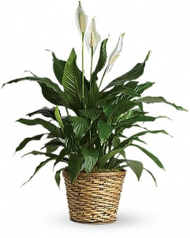 Simply Elegant Spathiphyllum - Medium Flower Arrangement