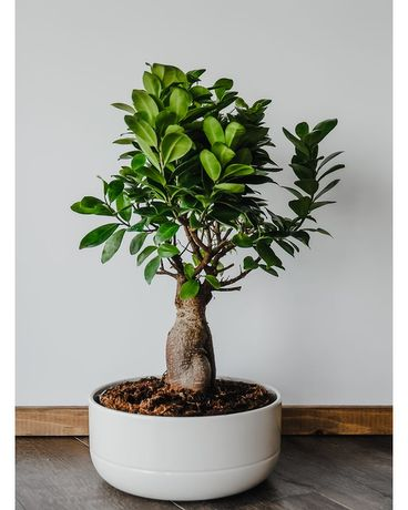 Ficus Bonsai Tree Large Plant