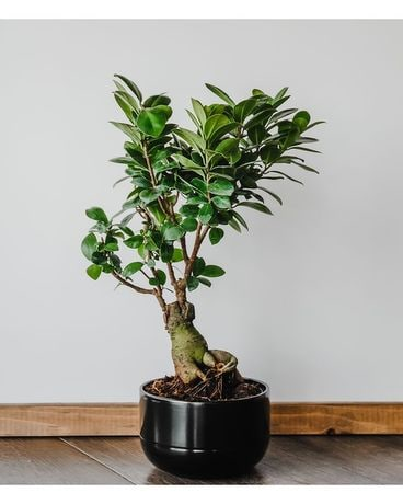 Ficus Bonsai Tree Small Plant