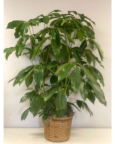 Schefflera Amante Flower Arrangement