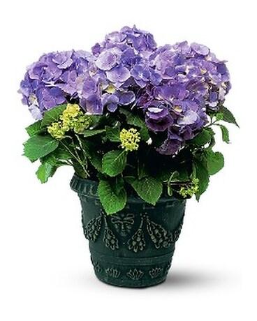 Blue Hydrangea In Boerne Tx An Empty Vase