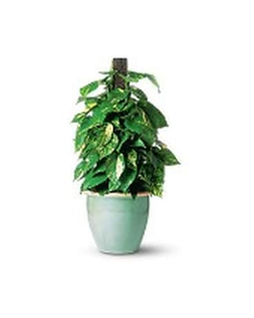 Pothos on Pole Plant