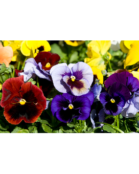 Potted Pansy Plants Plant
