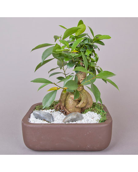 Bonsai Large Dish Garden Plant