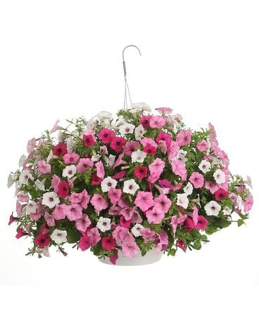 HB Assorted Colorful Hanging Basket Plant