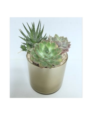 Succulent Garden in 5x5 Gold Glass Cylinder
