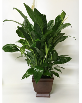 Noble Heritage Peace Lily