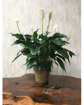 Peace Lily 6-inch Pot Size Plant