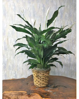 Peace Lily 8-inch Pot Size Plant