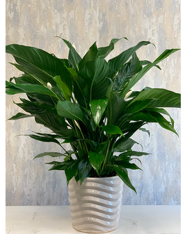Peace Lily in Ceramic Plant