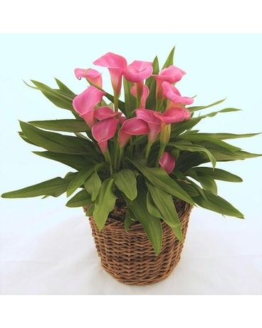 Large Mini calla plant Plant