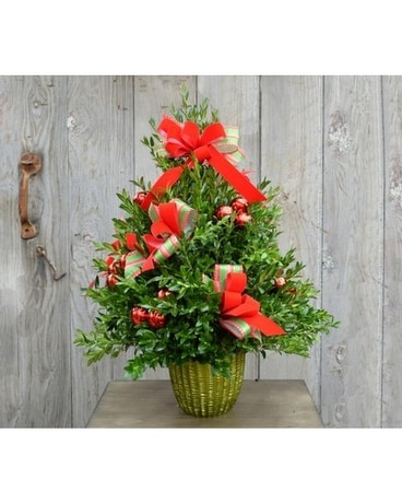 Holiday Boxwood Tree