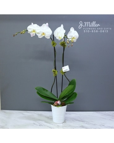 Double Stem Orchid Plant (*more colors available!)