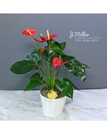 Anthurium Plant - tropical! Plant