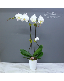 Double Stem Orchid Plant Flower Arrangement