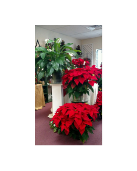 large peace lily and large poinsettias