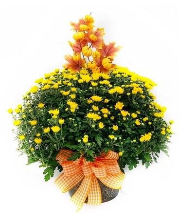 garden mum gift - Garden Mum