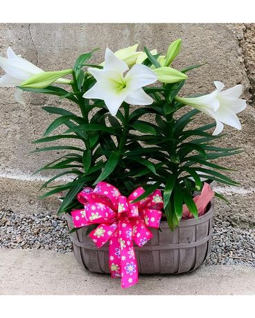 Double Lily Basket Plant