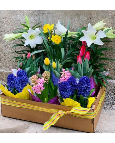 Easter Bulb Box (Large) Plant