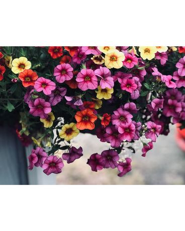 Blooming Annuals: Hanging Basket
