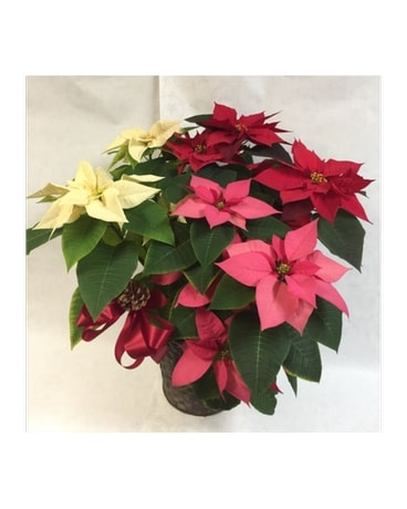 POINSETTIA:  Red, White & Pink