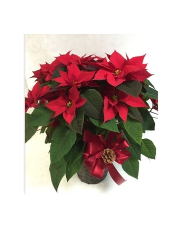 POINSETTIA: Red