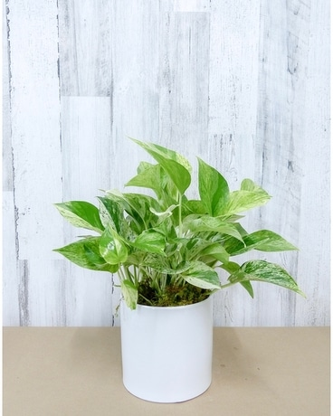 6 Inch Marble Queen Pothos Flower Arrangement