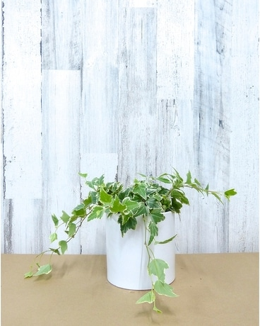 6 Inch Ivy Plant in Cylinder Flower Arrangement