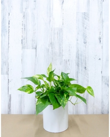 6 Inch Golden Pothos Flower Arrangement