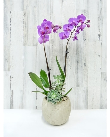 Orchid Delight Plant