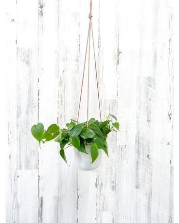 Hanging Heartleaf Philodendron Plant
