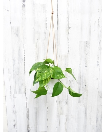 Hanging Golden Pothos Plant