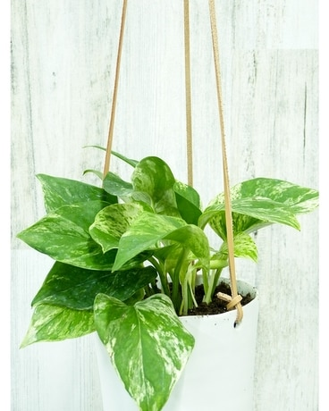 Hanging Marble Queen Photos Plant
