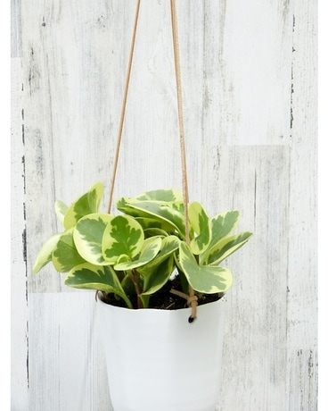 Hanging Peperomia Plant