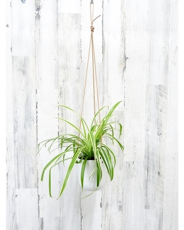 Hanging Spider Plant Plant