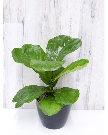 Fiddle Leaf Fig - Six Inch Plant