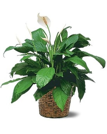 Medium Spathiphyllum Plant Flower Arrangement