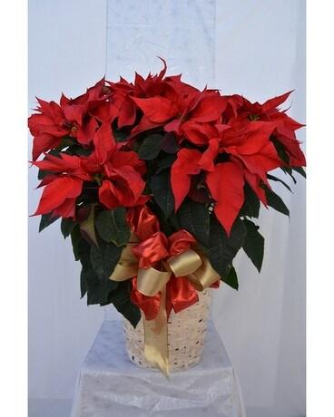 Extra Large Red Poinsettia In Sun City Az Sun City Florists