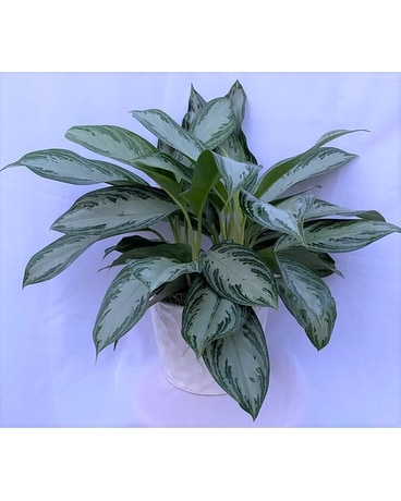 Elegant Chinese Evergreen in White Ceramic Pot Flower Arrangement
