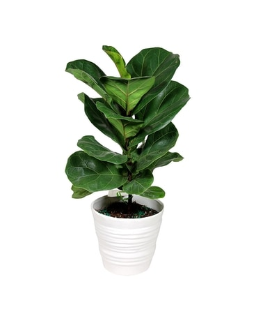 Fiddle Leaf Fig, Small Plant