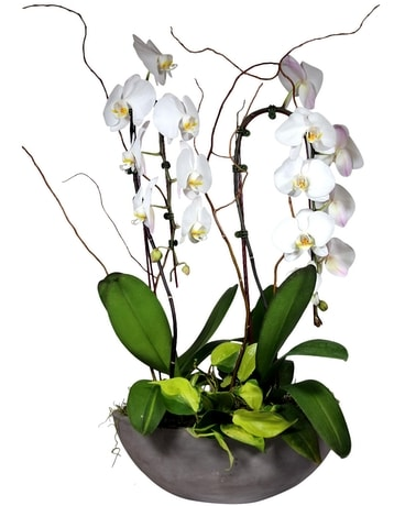 Waterfall Orchid Garden Plant