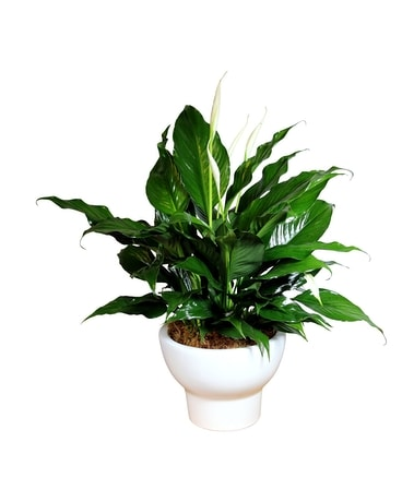 Modern Peace Lily Plant