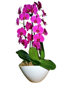 Cascading Orchids Plant