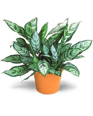 Chinese Evergreen Flower Arrangement