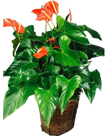 Vibrant Anthurium - Large