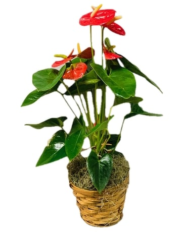 Vibrant Anthurium - Small