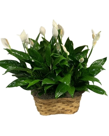 Simply Elegant Spathiphyllum Double Plant