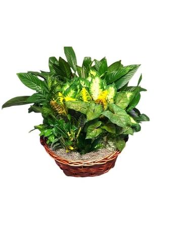 large basket garden dish garden plant - Dish Garden Plants