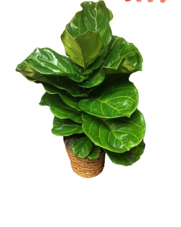 Fiddle Leaf Fig Tree Plant