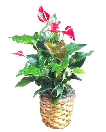 Vibrant Anthurium - Medium Plant